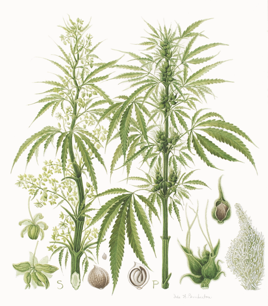 Cannabis illustrations
