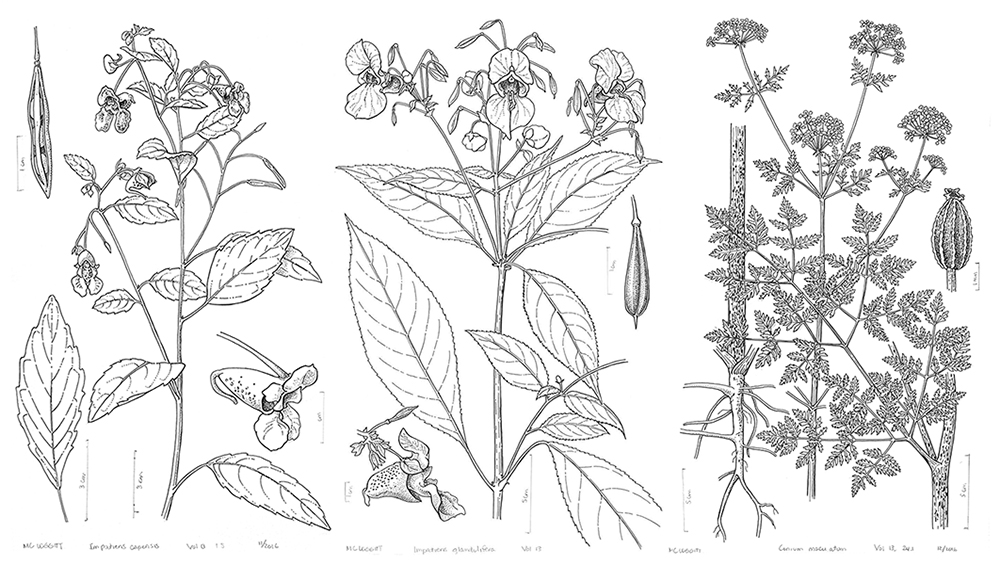 Illustrations of North American flora