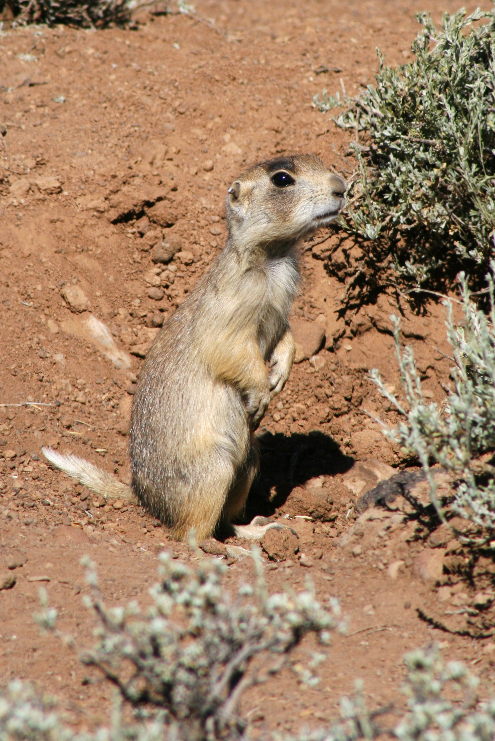 Prairie dog in Utah